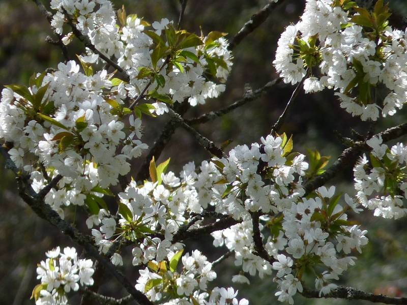 flores-cerezos
